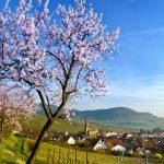 urlaubsreise deutschland mandelblüte pfalz