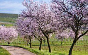 landau mandelblüte pfalz hotel arrangement